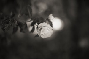 Camellia_was_in_bloom_monochrome