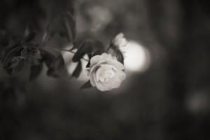 Camellia_was_in_bloom_monochrome